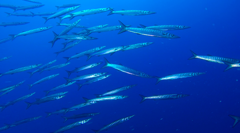 Barracuda nel blu