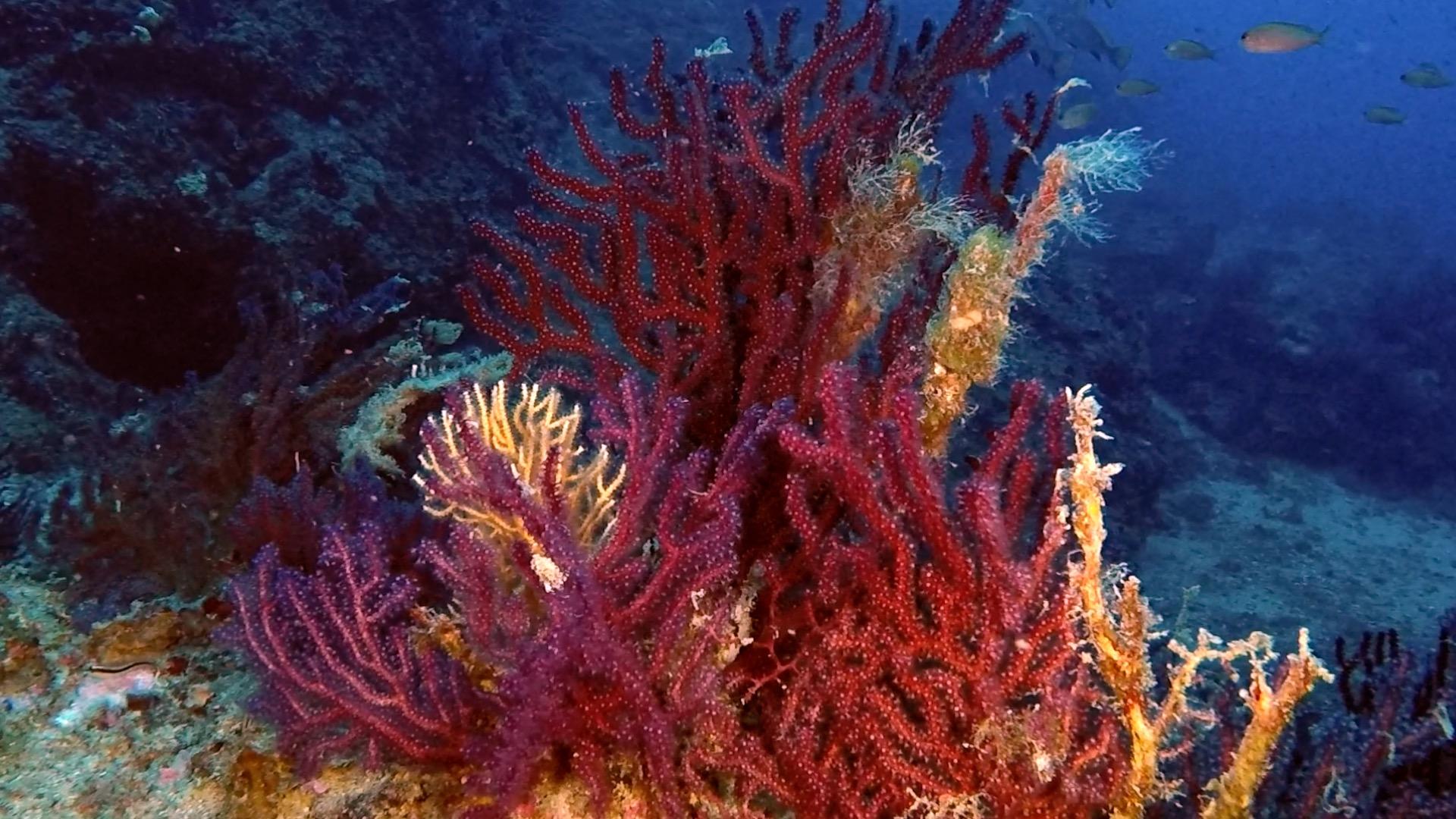 Gorgonie rosse al Faro di Portofino