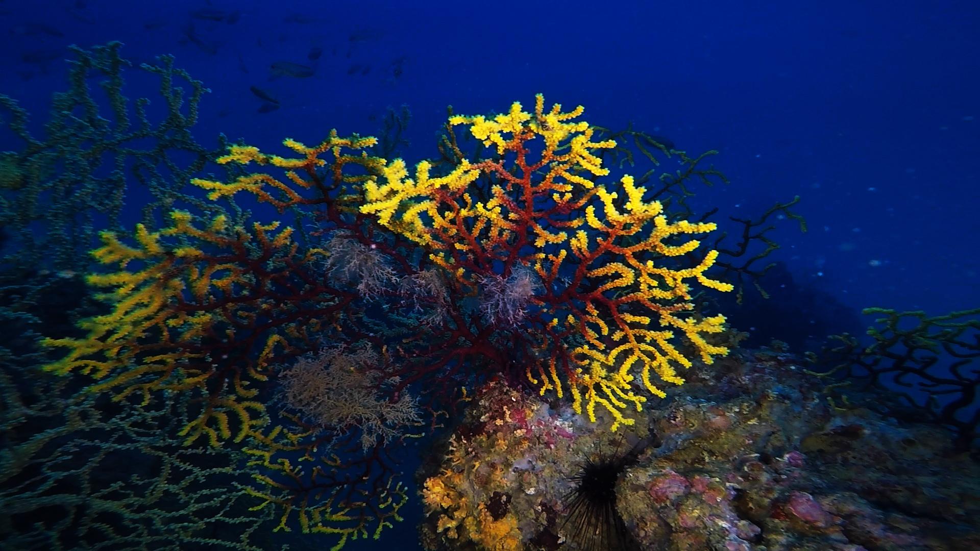 Secche del Faro di Gallipoli gorgonia bicolore