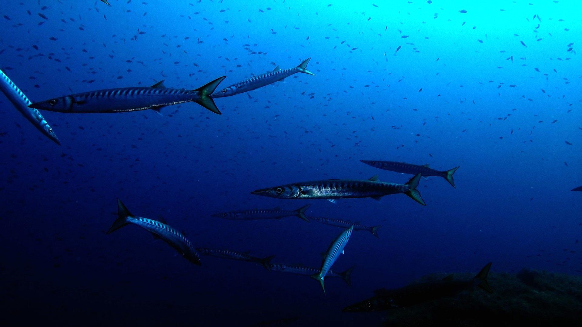 Secca Carega: barracuda