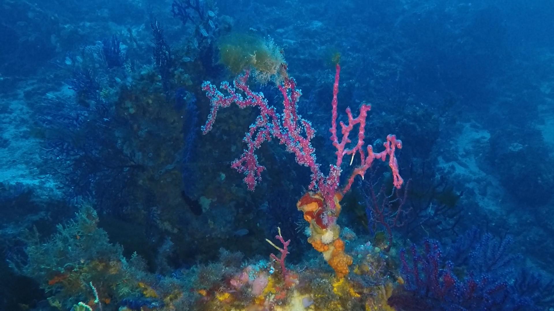 Alcionaceo rosso