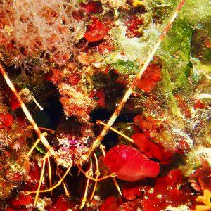 Aragosta sulla parete di Punta Lea