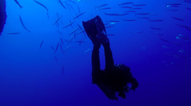 Subacqueo nel flusso dei barracuda