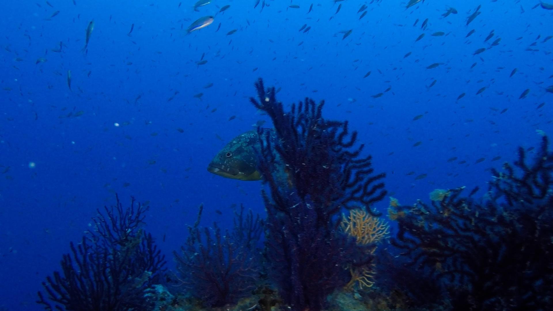 Cernia dietro ad una gorgonia al Faro di Portofino