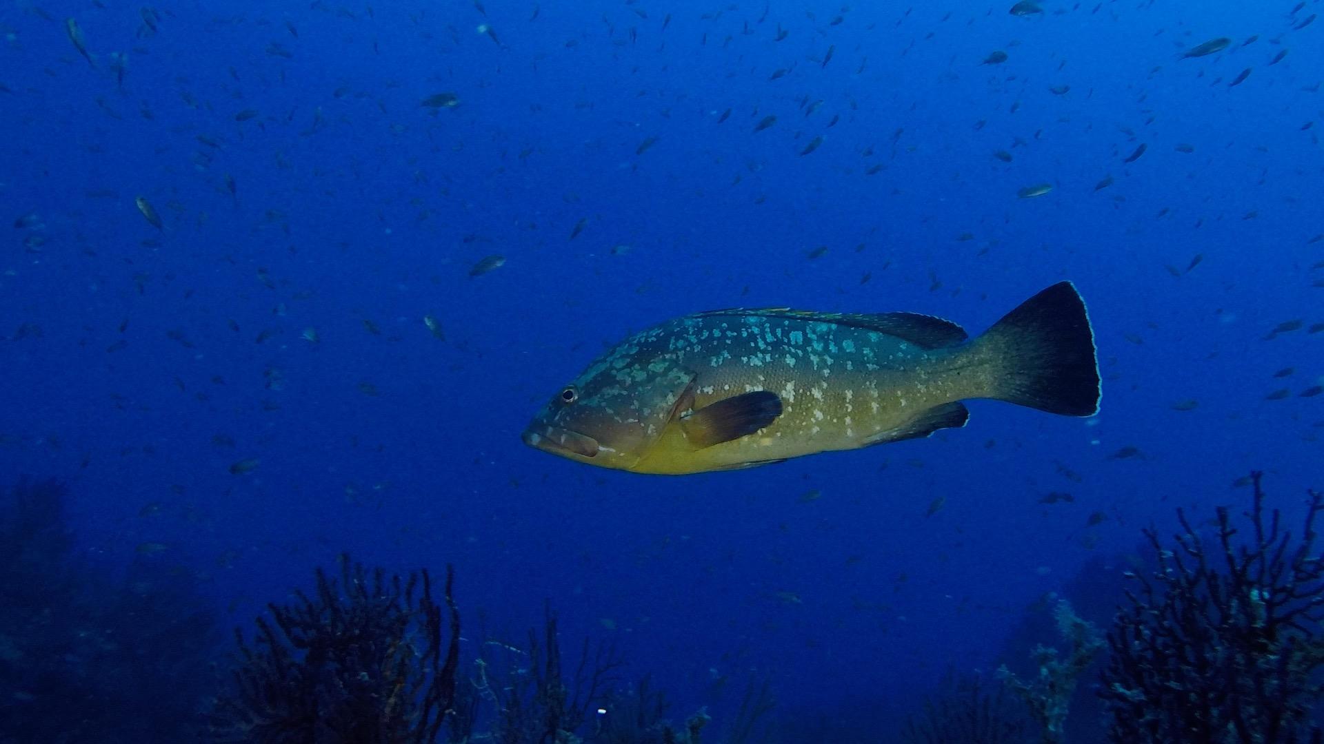 Una cernia nel blu al Faro di Portofino