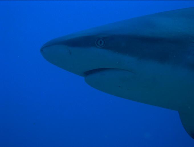 Il muso di uno squalo di Roatan