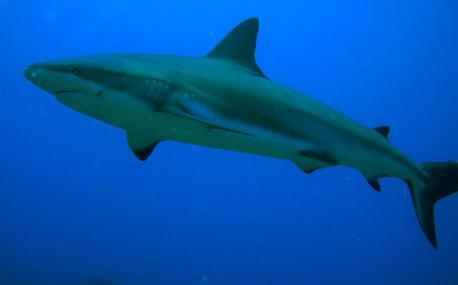 Lo squalo di Roatan