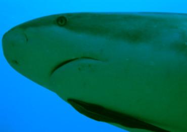 Muso di squalo di Roatan