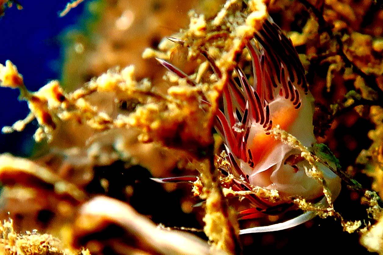 Cratena peregrina - Otranto Punta Palacia