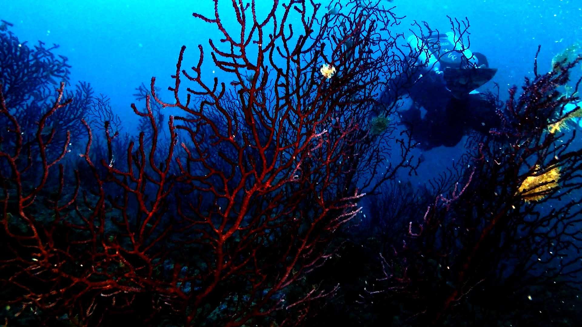 Secca Carega: gorgonia rossa