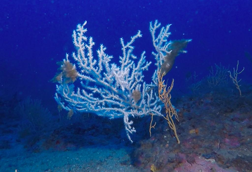 Immersioni a Santo Stefano al Mare: un ventaglio di gorgonia bianca