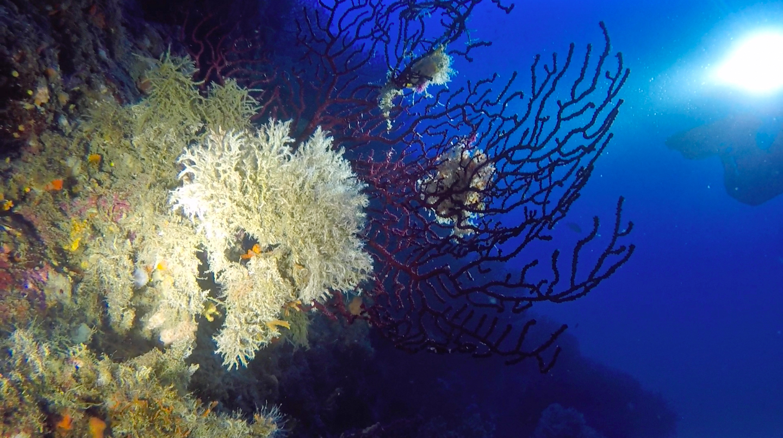 Mantenendo la parete sulla mia sinistra iniziai la mia immersione subacquea alle Formiche della Zanca tra magnifici ventagli di gorgonie rosse sulle quali erano depositati dei bianchissimi briozoi