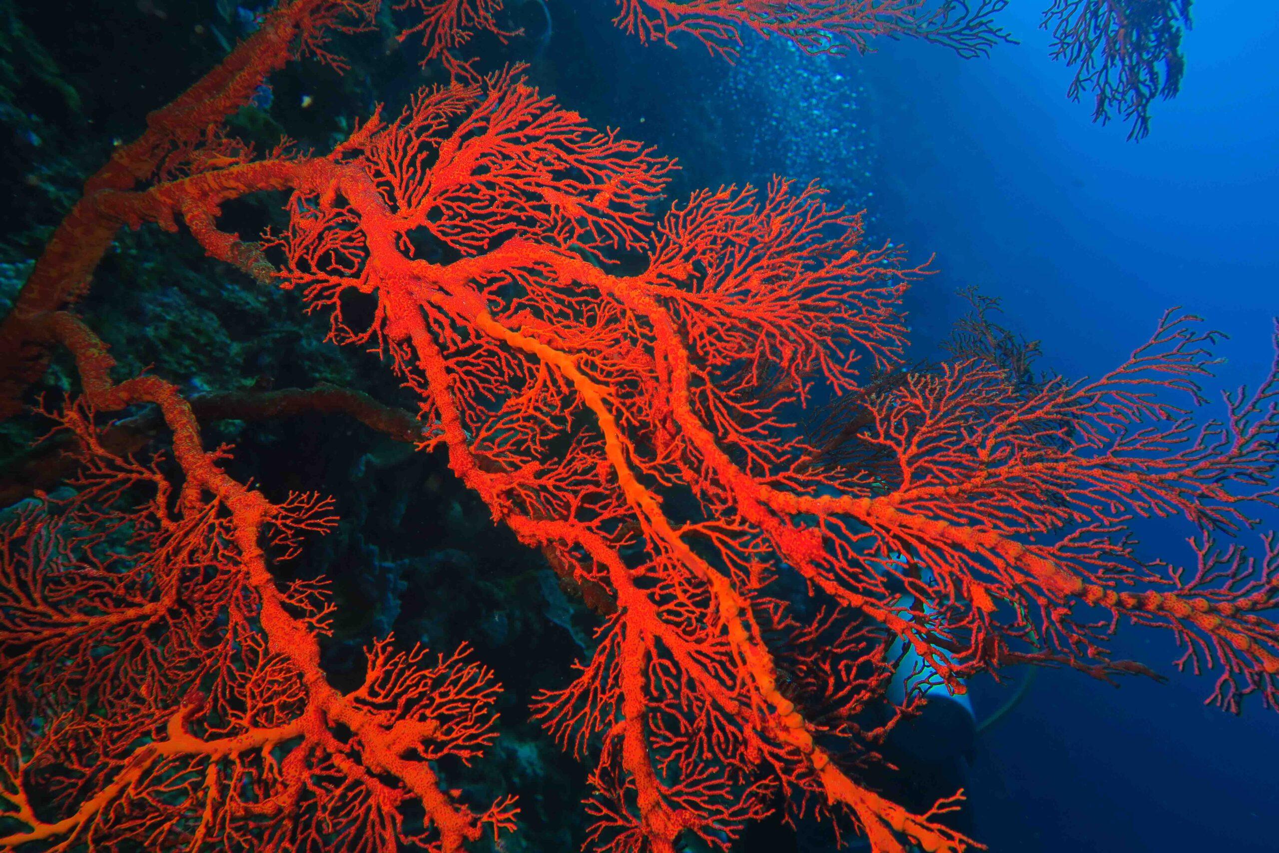 Mi immergo per visitare degli scenografici muri ricoperti di gorgonie e coralli.