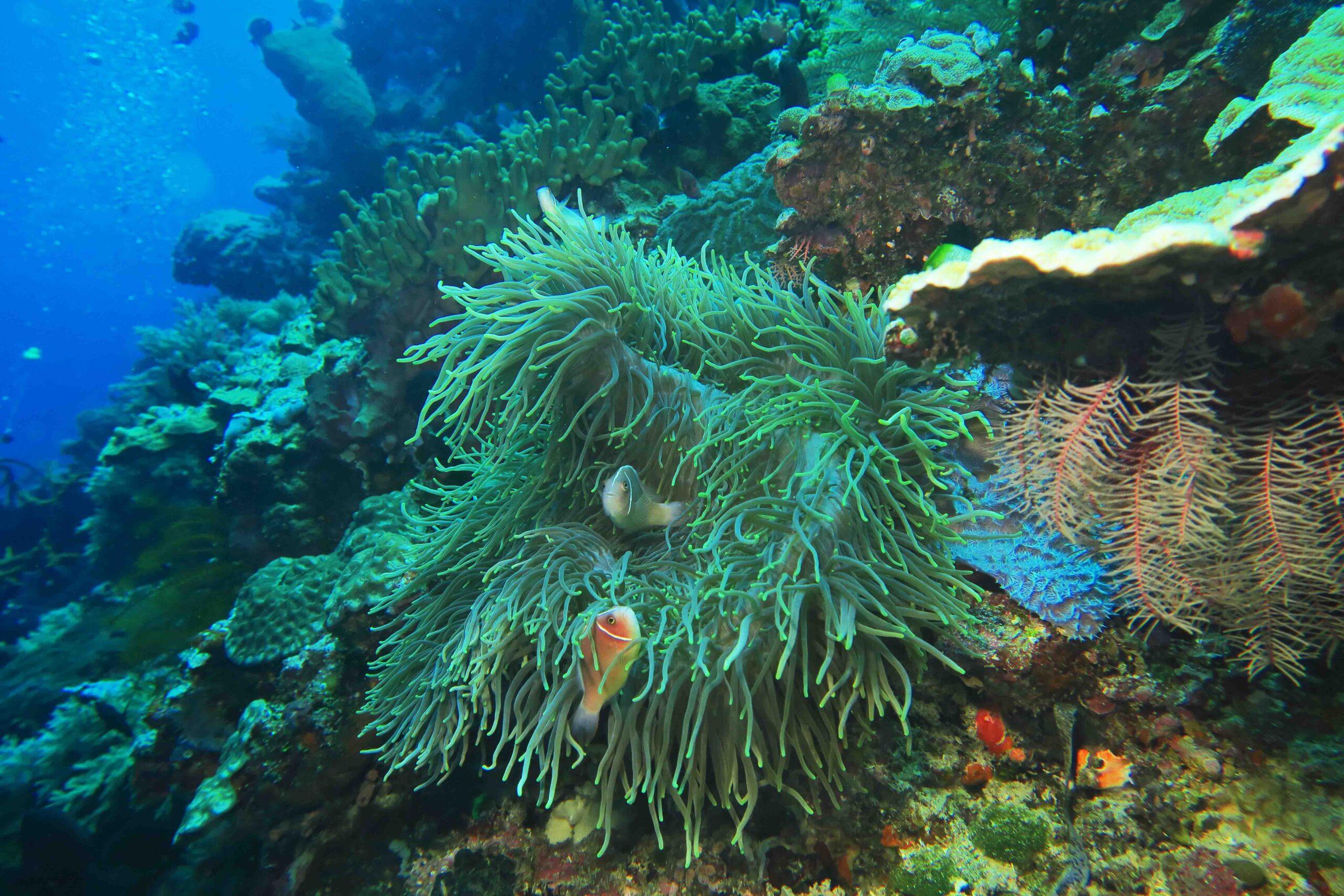 La barriera corallina di Bunaken è ricca ed incontaminata, con una corposa e abbondante vita di coralli e pesci in grande concentrazione.