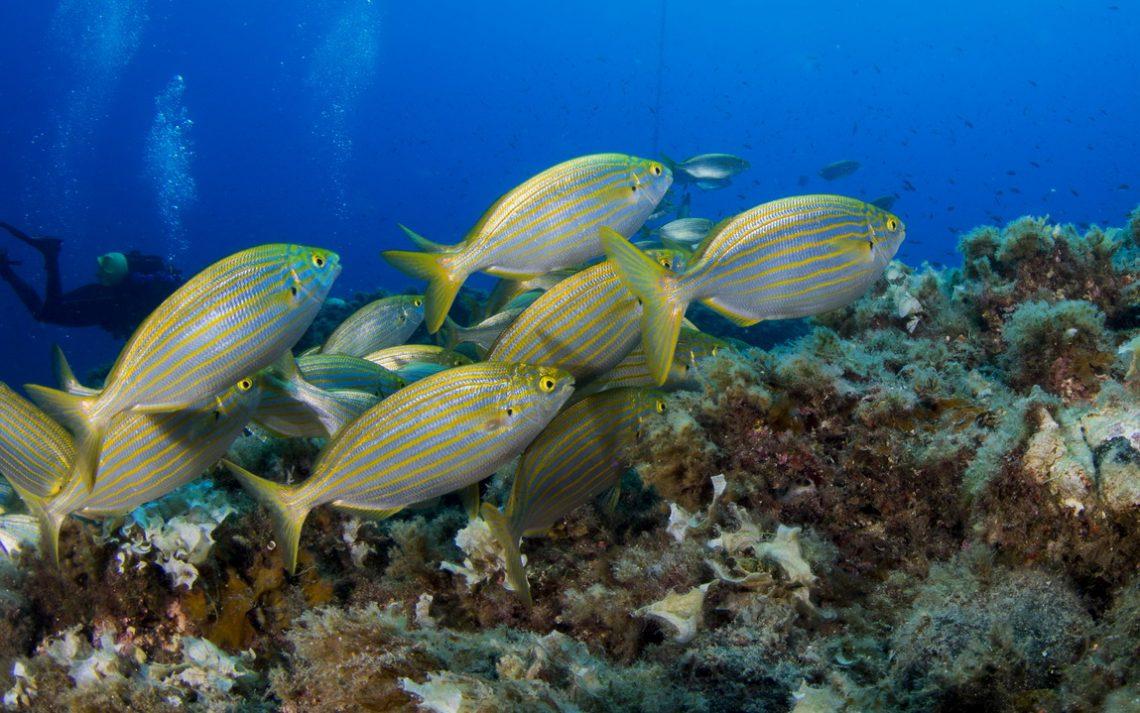 La salpa: il pesce allucinogeno