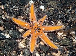 La stella marina a sette punte