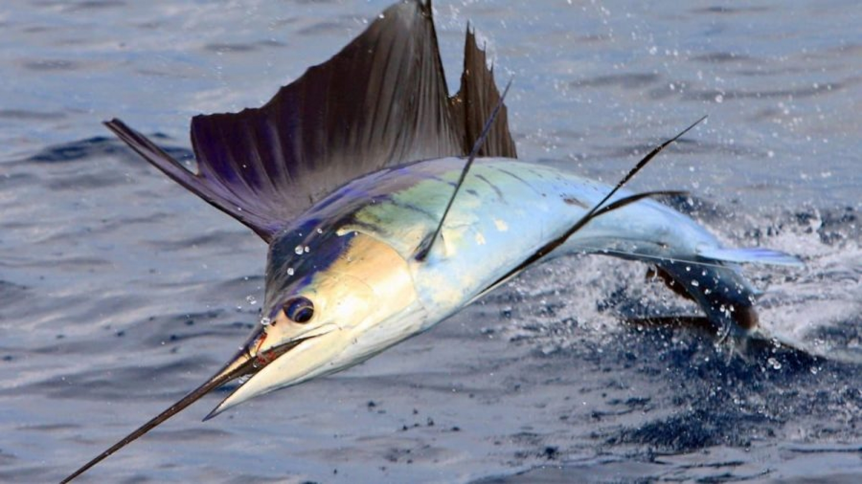 Pesce-vela